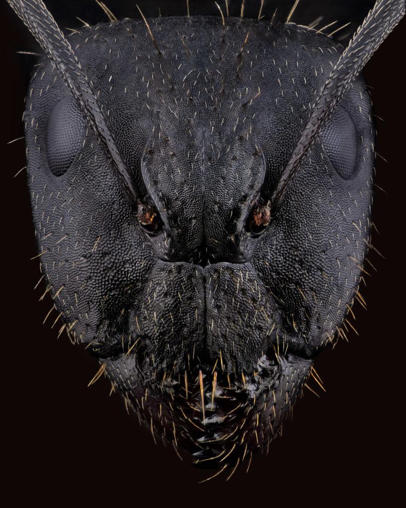 Formicinae, Fourmi, Extrememacro, Fractiondinstant, Camponotus, Portrait