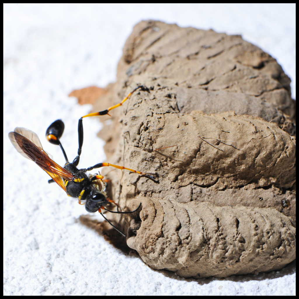 Macro, Sceliphron, fractiondinstant, Hymenoptera, Sphecidae,