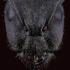 Portrait de fourmi Camponotus sp de face sur fond noir