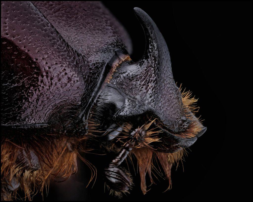 Portrait d'Oryctes nasicornis