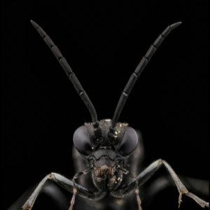 Tenthredinidae, Macrophya annulata