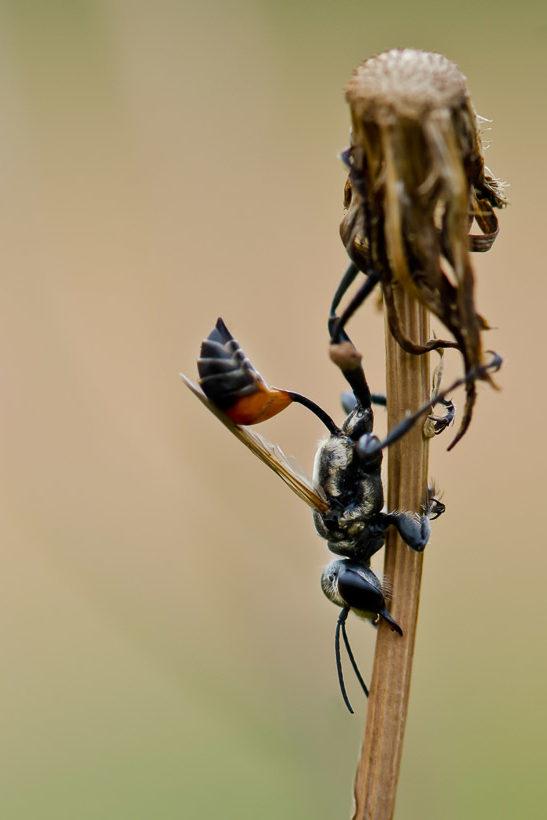Sphecidae au repos sur une tige