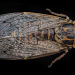 Cicada orni, la cigale grise de l'orne