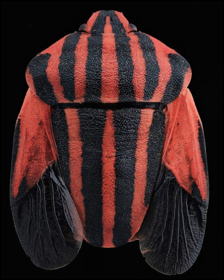 Punaise à rayures rouges et noires, sur fond noir