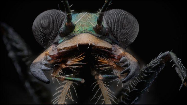 portrait de cicindele Myriochila melancholica, mandibules ouverts
