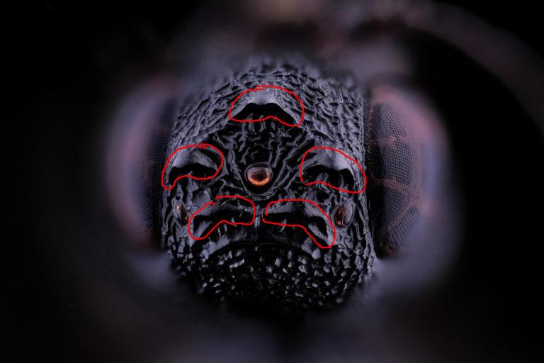 la couronne de la guêpe couronne