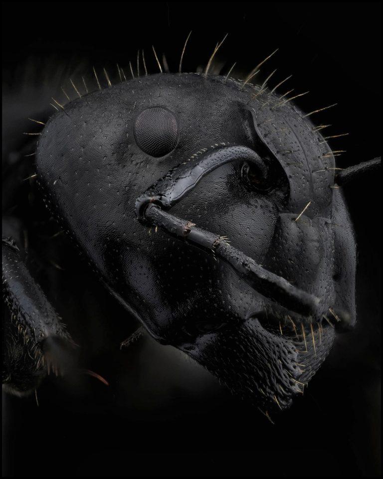 Portrait de fourmi Camponotus vagus sur fond noir