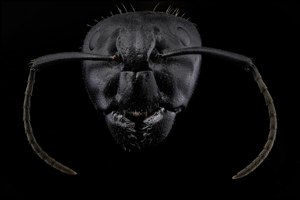 Portait de fourmi Camponotus sur fond noir