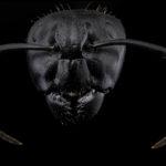 Camponotus vagus, portrait d'une imposante ouvrière