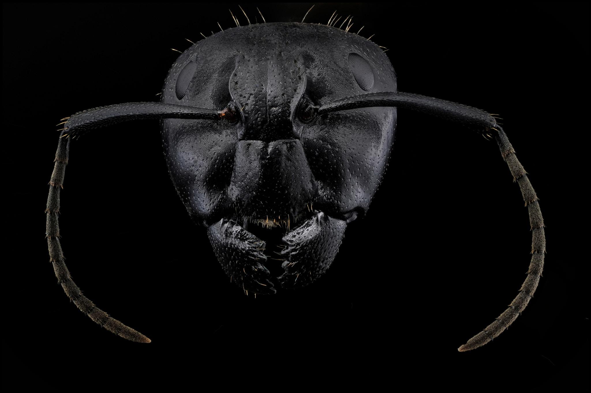 Camponotus vagus, portrait de face.