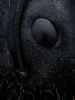 Œil de Camponotus sp