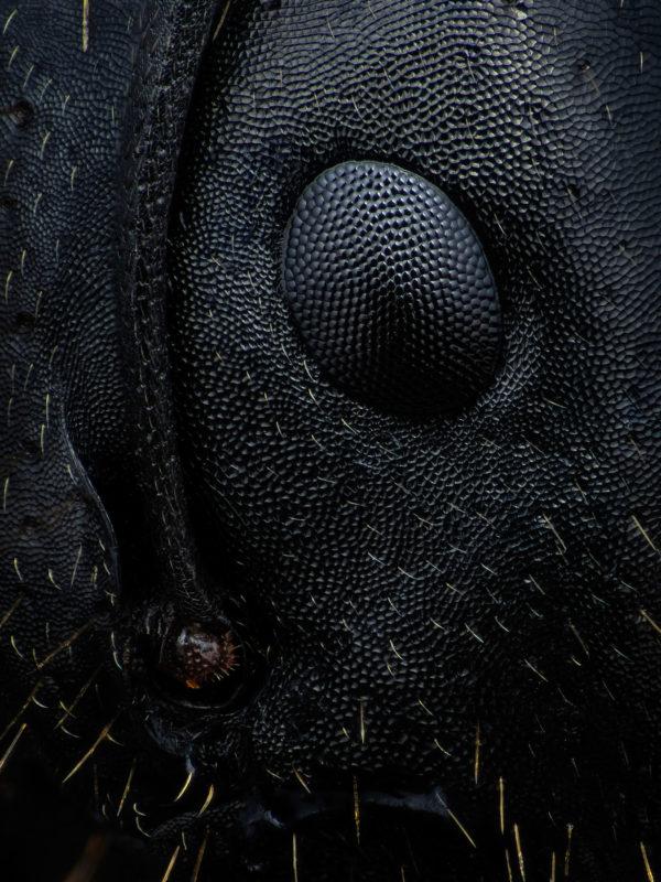 oeil de fourmi camponotus sp