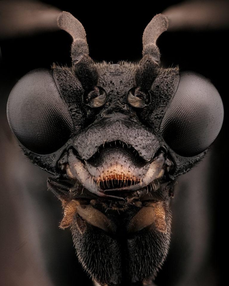 portrait d'un tenthredinidae sur fond noir