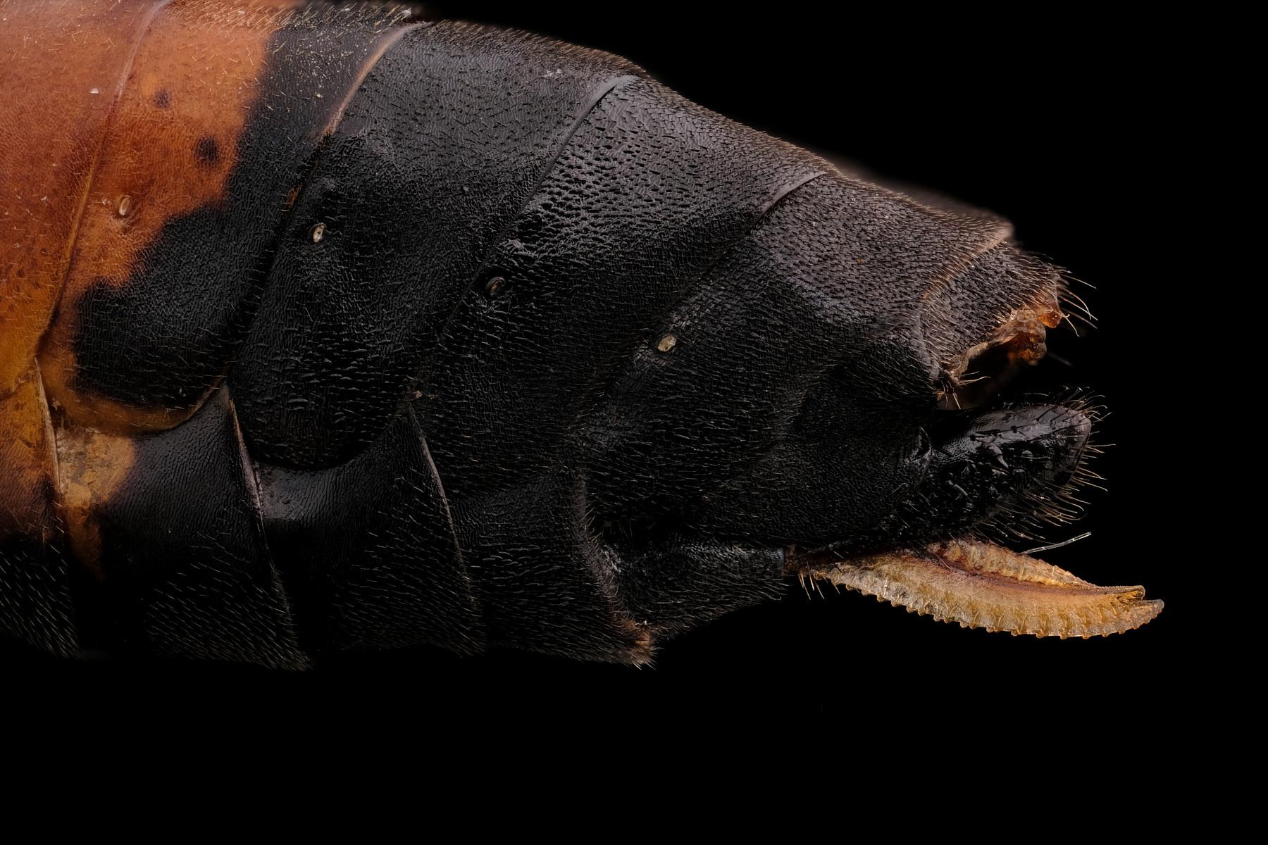 Ovipositeur d'un symphyte