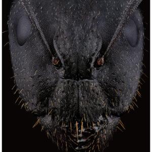Le masque de Camponotus aethiops