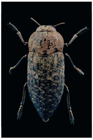 CPWN-005 Capnodis tenebricosa