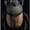 Coleoptera onthophagus sp sur fond noir