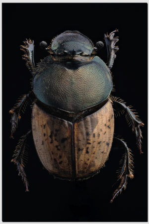 Onthophagus sp