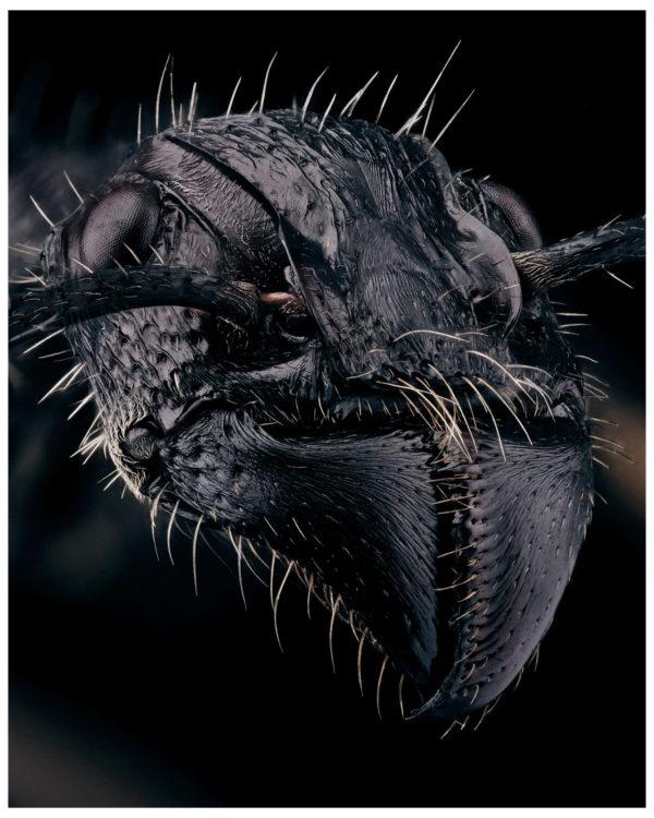 portrait de paraponera clavata sur fond noir