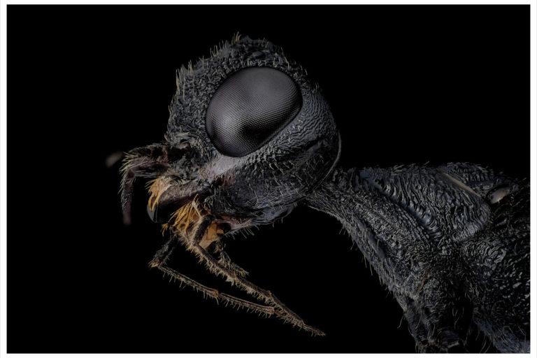 portrait de guepe couronne stephanus serrator sur fond noir