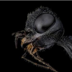 Stephanus serrator, une guêpe couronne