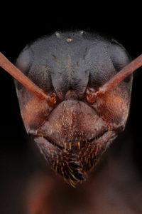 Portrait de fourmi Formica