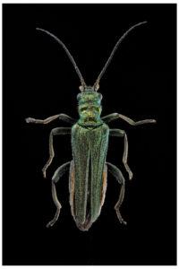 coleoptere oedemara nobilis