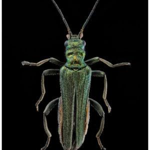 Oedemara nobilis, l'œdémère noble
