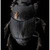 Phorésie acarien sur Onthophagus ovatus