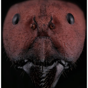 Portrait de Camponotus singularis, une fourmi d'Asie