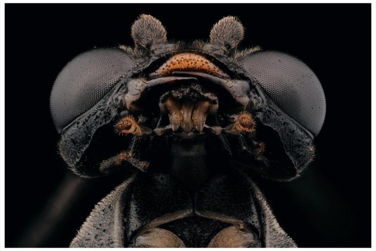 Portrait d'un Symphiyte noir