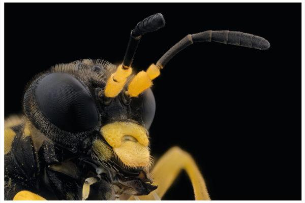 Portrait de symphyta macrophya sp sur fond noir