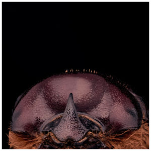 CPWN-010 Phyllognathus excavatus