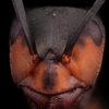Portrait de fourmi formica rufa sur fond noir