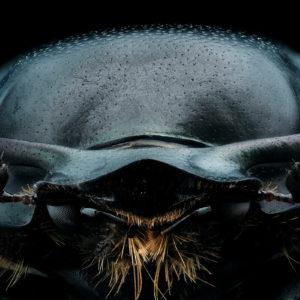 Onthophagus taurus : le plus fort du monde !