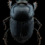 Onthophagus taurus, une force de la nature
