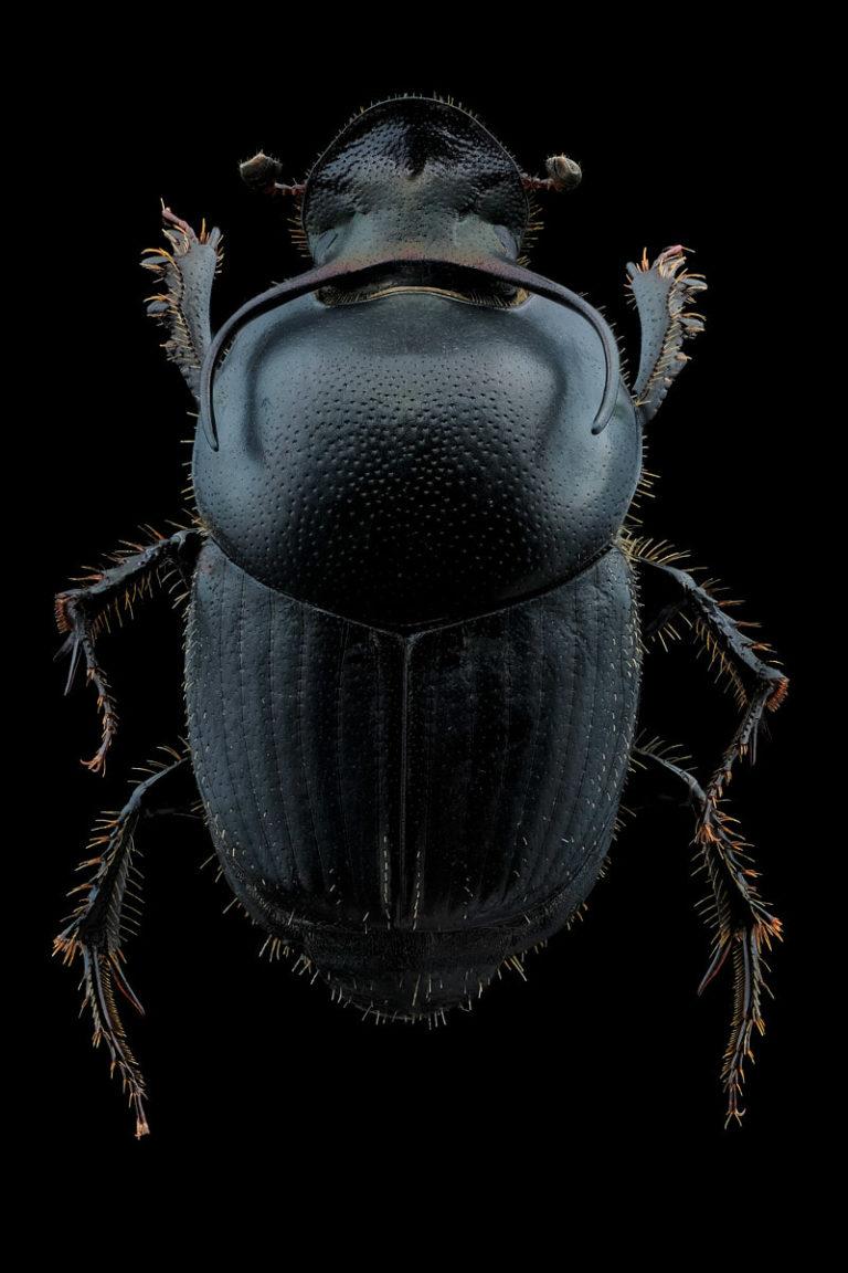 coleoptere onthophagus taurus vu de dessus