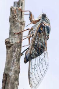 Cigale en train de pondre dans une branche