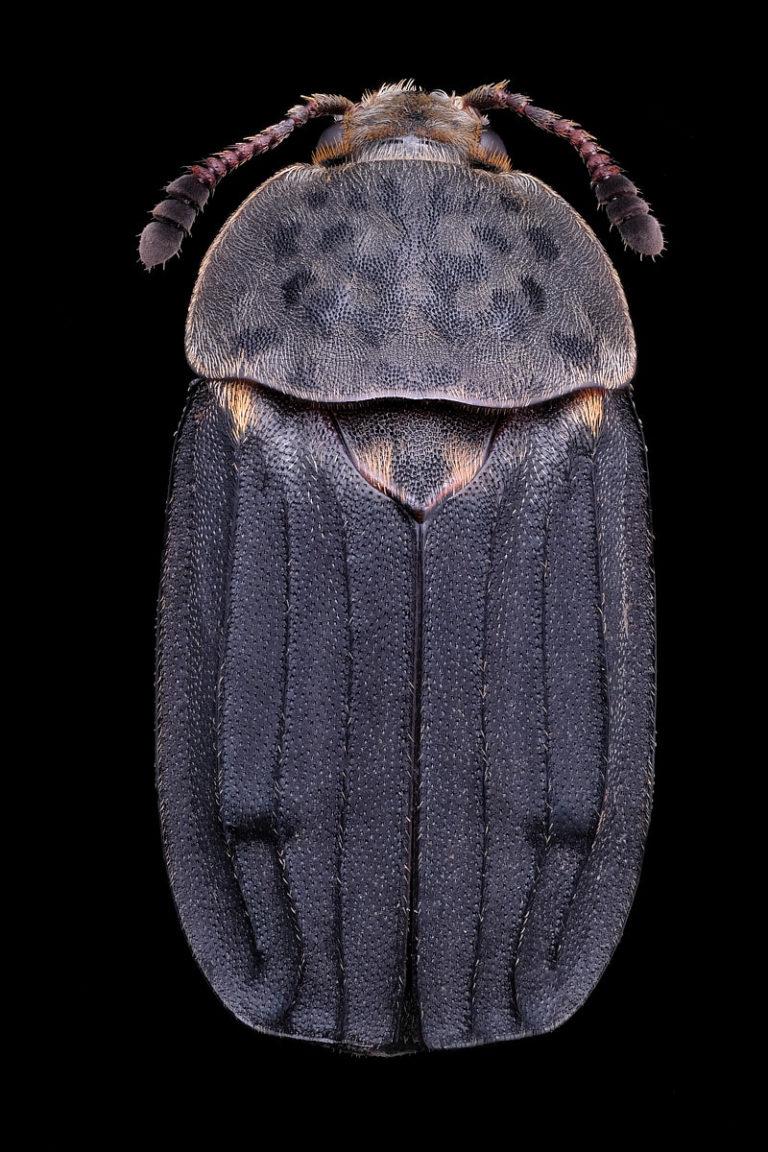 vue de dessus d'un coleoptere thanatophilus sinuatus