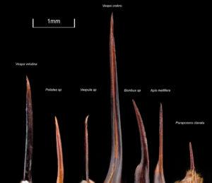 Comparaison de taille dards hyménoptères