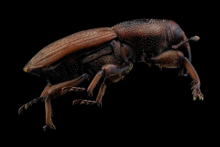 Charancon Sphenophorus vu de coté