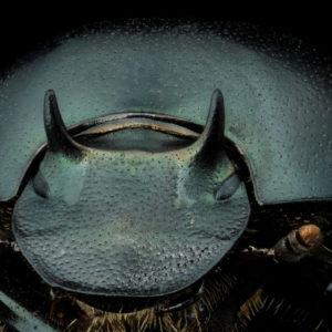 Onthophagus taurus, portrait d'un mâle minor