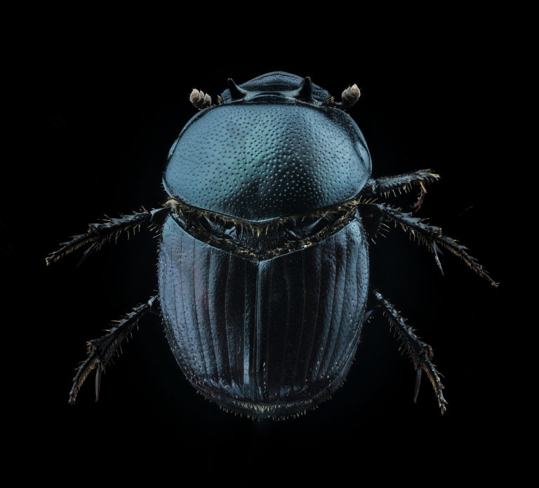 Onthophagus taurus minor