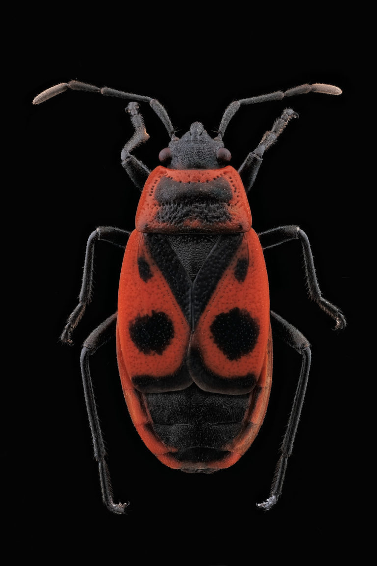 Vue dorsale punaise Pyrrhocoris apterus