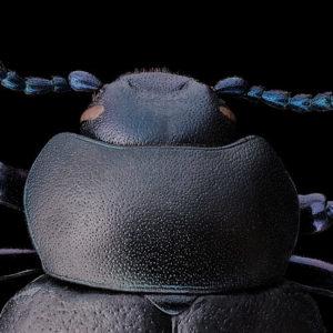 Timarcha tenebricosa, le crache-sang