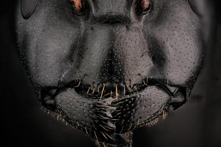 Camponotus japonicus de face, portrait serré