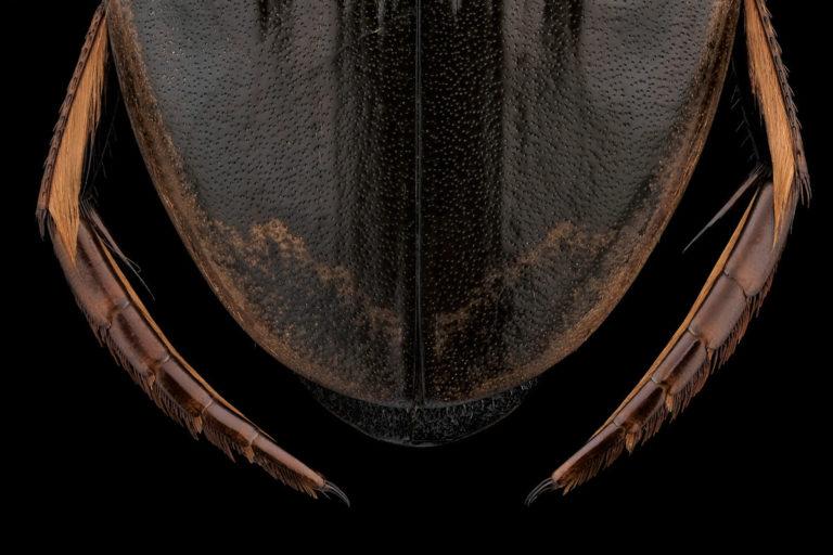 Pattes postérieures de Dytiscus pisanus