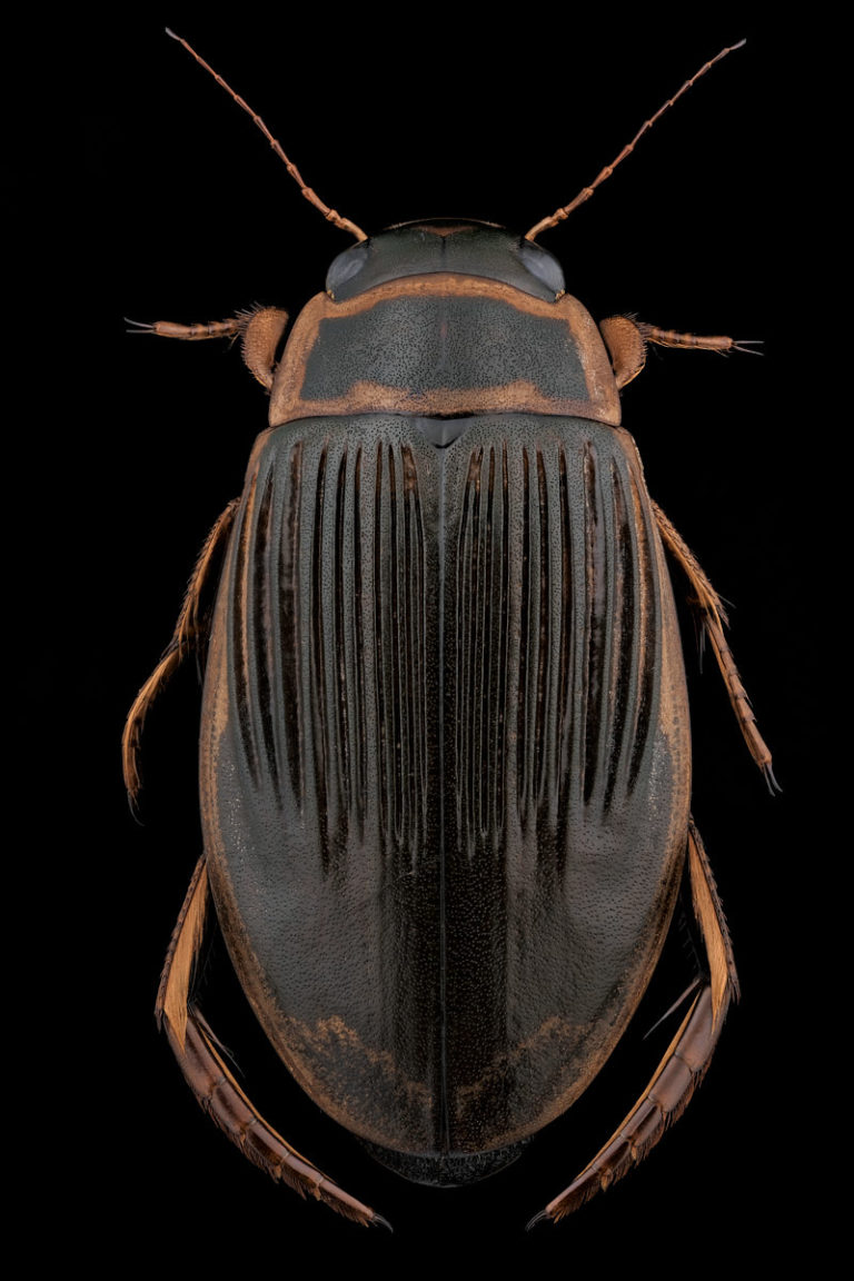 Vue dorsale Dytiscus pisanus