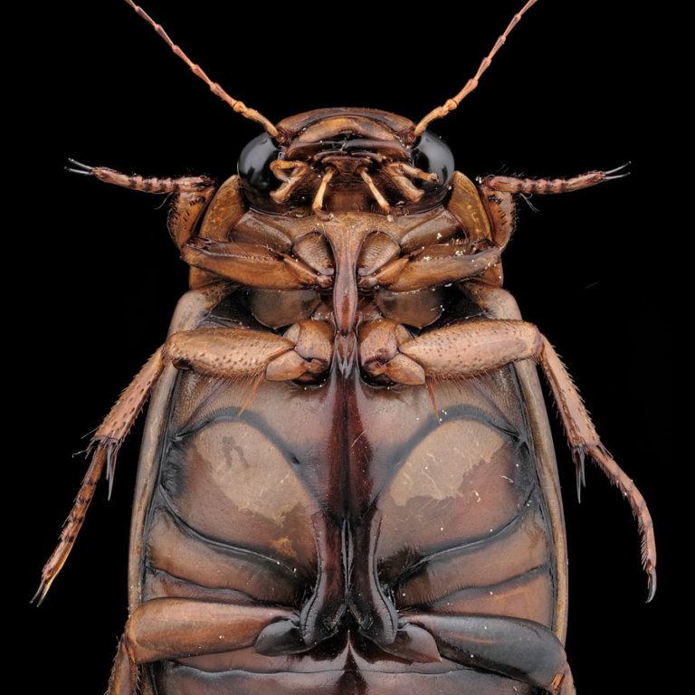 Vue ventrale Dytiscus pisanus