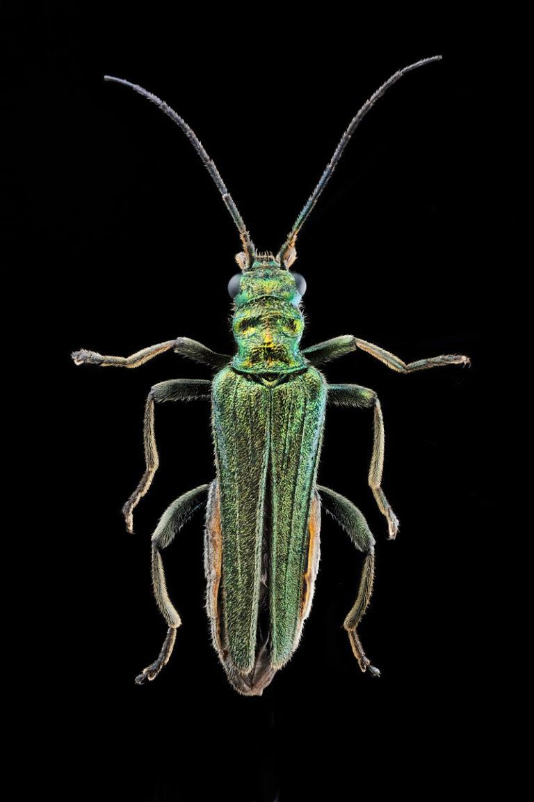 Vue dorsale Oedemara nobilis